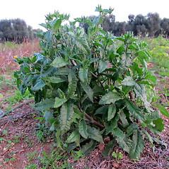 Plant form: Helminthotheca echioides. ~ By Pancrazio Campagna. ~ Copyright © 2020 Pancrazio Campagna. ~ Requests for image use not currently accepted by copyright holder ~ Acta Plantarum -  www.actaplantarum.org