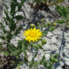 Flowers: Heterotheca subaxillaris. ~ By Rebekah Wallace. ~ Copyright © 2020 CC BY-NC 3.0. ~  ~ Bugwood - www.bugwood.org/