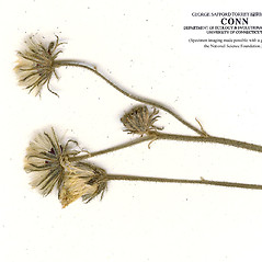 Fruits: Hieracium flagellare. ~ By CONN Herbarium. ~ Copyright © 2020 CONN Herbarium. ~ Requests for image use not currently accepted by copyright holder ~ U. of Connecticut Herbarium - bgbaseserver.eeb.uconn.edu/