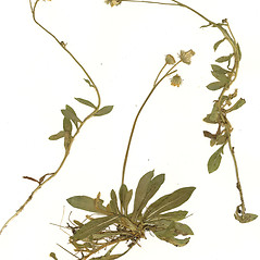 Plant form: Hieracium flagellare. ~ By CONN Herbarium. ~ Copyright © 2020 CONN Herbarium. ~ Requests for image use not currently accepted by copyright holder ~ U. of Connecticut Herbarium - bgbaseserver.eeb.uconn.edu/