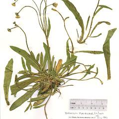 Plant form: Hieracium flagellare. ~ By The Herbarium of The Morton Arboretum (MOR). ~ Copyright © 2021 The Morton Arboretum. ~ Ed Hedborn, The Morton Arboretum ~ The Herbarium of The Morton Arboretum