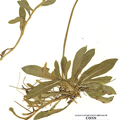 Leaves: Hieracium flagellare. ~ By CONN Herbarium. ~ Copyright © 2020 CONN Herbarium. ~ Requests for image use not currently accepted by copyright holder ~ U. of Connecticut Herbarium - bgbaseserver.eeb.uconn.edu/