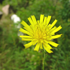 Flowers: Hieracium kalmii. ~ By Glen Mittelhauser. ~ Copyright © 2021 Glen Mittelhauser. ~ www.mainenaturalhistory.org