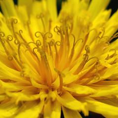 Flowers: Hieracium kalmii. ~ By Marilee Lovit. ~ Copyright © 2021 Marilee Lovit. ~ lovitm[at]gmail.com