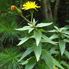 Plant form: Hieracium kalmii. ~ By Donna Kausen. ~ Copyright © 2021 Donna Kausen. ~ 33 Bears Den, Addison, ME 04606