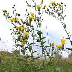 Plant form: Hieracium kalmii. ~ By Marilee Lovit. ~ Copyright © 2020 Marilee Lovit. ~ lovitm[at]gmail.com