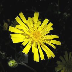 Flowers: Hieracium maculatum. ~ By Petr Kocna. ~ Copyright © 2021 CC BY-SA 3.0. ~  ~ Biolib - www.biolib.cz