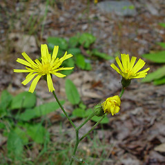 Flowers: Hieracium murorum. ~ By Arthur Haines. ~ Copyright © 2021. ~ arthurhaines[at]wildblue.net