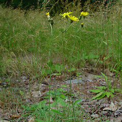 Plant form: Hieracium murorum. ~ By Arthur Haines. ~ Copyright © 2021. ~ arthurhaines[at]wildblue.net