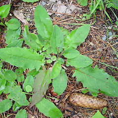 Leaves: Hieracium murorum. ~ By Arthur Haines. ~ Copyright © 2021. ~ arthurhaines[at]wildblue.net