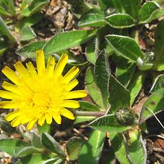 Flowers: Hieracium pilosella. ~ By Donna Kausen. ~ Copyright © 2021 Donna Kausen. ~ 33 Bears Den, Addison, ME 04606