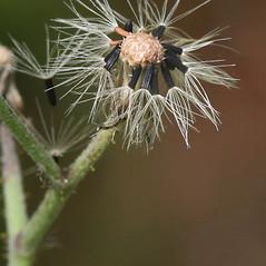 Fruits: Hieracium praealtum. ~ By Arieh Tal. ~ Copyright © 2021 Arieh Tal. ~ http://botphoto.com/ ~ Arieh Tal - botphoto.com