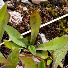 Leaves: Hieracium praealtum. ~  ~ Copyright © 2021. ~