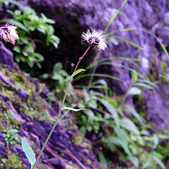 Fruits: Hieracium robinsonii. ~ By Arthur Haines. ~ Copyright © 2020. ~ arthurhaines[at]wildblue.net