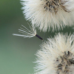 Fruits: Hieracium scabrum. ~ By Arieh Tal. ~ Copyright © 2020 Arieh Tal. ~ http://botphoto.com/ ~ Arieh Tal - botphoto.com