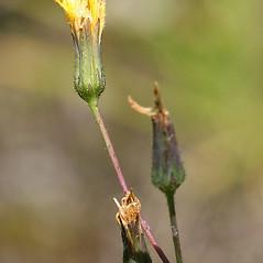 Flowers: Hieracium venosum. ~ By Arieh Tal. ~ Copyright © 2021 Arieh Tal. ~ http://botphoto.com/ ~ Arieh Tal - botphoto.com