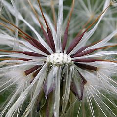 Fruits: Hypochaeris glabra. ~ By Keir Morse. ~ Copyright © 2021 Keir Morse. ~ www.keiriosity.com ~ www.keiriosity.com