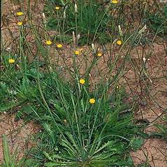Plant form: Hypochaeris glabra. ~ By Joseph DiTomaso. ~ Copyright © 2021 CC BY-NC 3.0. ~  ~ Bugwood - www.bugwood.org/