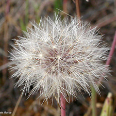 Fruits: Hypochaeris radicata. ~ By Keir Morse. ~ Copyright © 2021 Keir Morse. ~ www.keiriosity.com ~ www.keiriosity.com