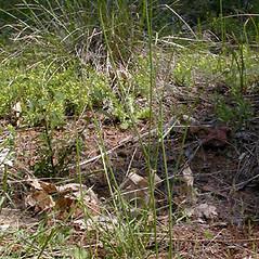 Plant form: Hypochaeris radicata. ~ By Keir Morse. ~ Copyright © 2020 Keir Morse. ~ www.keiriosity.com ~ www.keiriosity.com