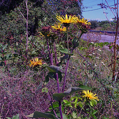 Plant form: Inula helenium. ~ By Arthur Haines. ~ Copyright © 2021. ~ arthurhaines[at]wildblue.net