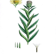 Plant form: Inula salicina. ~ By James Sowerby. ~  Public Domain. ~  ~ Robert W. Freckmann Herbarium, U. of Wisconsin-Stevens Point