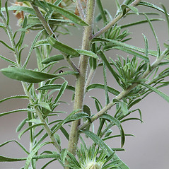 Stems: Ionactis linariifolia. ~ By Arieh Tal. ~ Copyright © 2021 Arieh Tal. ~ www.nttlphoto.com ~ Arieh Tal - www.nttlphoto.com