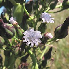 Flowers: Lactuca biennis. ~ By Marilee Lovit. ~ Copyright © 2020 Marilee Lovit. ~ lovitm[at]gmail.com