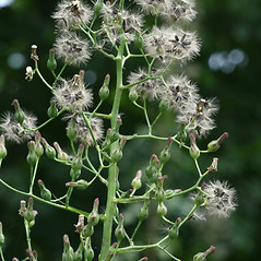 Fruits: Lactuca biennis. ~ By Arieh Tal. ~ Copyright © 2021 Arieh Tal. ~ http://botphoto.com/ ~ Arieh Tal - botphoto.com