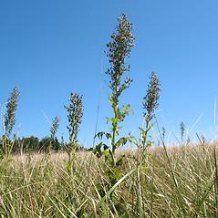 Plant form: Lactuca biennis. ~ By Marilee Lovit. ~ Copyright © 2020 Marilee Lovit. ~ lovitm[at]gmail.com