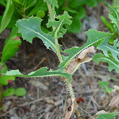 Leaves: Lactuca serriola. ~ By Arthur Haines. ~ Copyright © 2020. ~ arthurhaines[at]wildblue.net