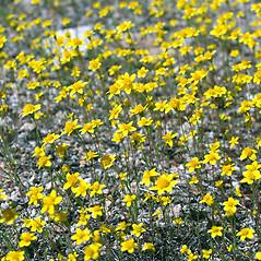 Plant form: Lasthenia californica. ~ By Keir Morse. ~ Copyright © 2020 Keir Morse. ~ www.keiriosity.com ~ www.keiriosity.com