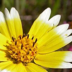 Flowers: Layia platyglossa. ~ By Neal Kramer. ~ Copyright © 2021 Neal Kramer. ~ kramerbotanical[at]yahoo.com ~ CalPhotos - calphotos.berkeley.edu/flora/