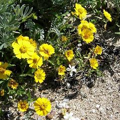 Plant form: Layia platyglossa. ~ By Neal Kramer. ~ Copyright © 2021 Neal Kramer. ~ kramerbotanical[at]yahoo.com ~ CalPhotos - calphotos.berkeley.edu/flora/