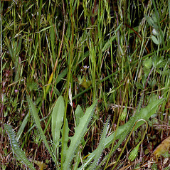 Plant form: Leontodon saxatilis. ~ By Gerry Carr. ~ Copyright © 2021 Gerry Carr. ~ gdcarr[at]comcast.net ~ Oregon Flora Image Project - www.botany.hawaii.edu/faculty/carr/ofp/ofp_index.htm