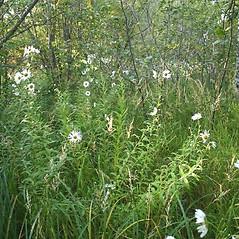 Plant form: Leucanthemella serotina. ~ By Steve Garske. ~ Copyright © 2021 Steve Garske. ~ asimina[at]alphacomm.net