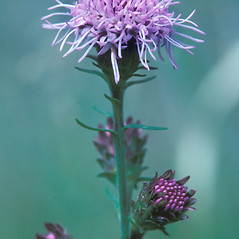 Flowers: Liatris novae-angliae. ~ By William Larkin. ~ Copyright © 2020 New England Wild Flower Society. ~ Image Request, images[at]newenglandwild.org