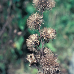 Fruits: Liatris novae-angliae. ~ By John Lynch. ~ Copyright © 2020 New England Wild Flower Society. ~ Image Request, images[at]newenglandwild.org