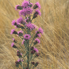 Plant form: Liatris novae-angliae. ~ By Paul Somers. ~ Copyright © 2020 New England Wild Flower Society. ~ Image Request, images[at]newenglandwild.org