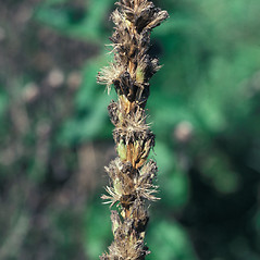 Fruits: Liatris pycnostachya. ~ By John Lynch. ~ Copyright © 2020 New England Wild Flower Society. ~ Image Request, images[at]newenglandwild.org
