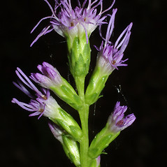 Flowers: Liatris spicata. ~ By Steven Baskauf. ~ Copyright © 2021 CC-BY-NC-SA. ~  ~ Bioimages - www.cas.vanderbilt.edu/bioimages/frame.htm