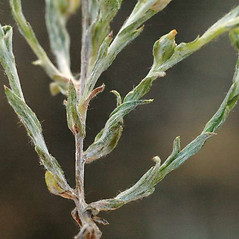 Leaves: Logfia minima. ~ By Ben Legler. ~ Copyright © 2021 Ben Legler. ~ mountainmarmot[at]hotmail.com ~ U. of Washington - WTU - Herbarium - biology.burke.washington.edu/herbarium/imagecollection.php