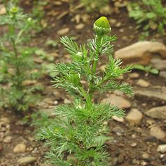 Plant form: Matricaria discoidea. ~ By Glen Mittelhauser. ~ Copyright © 2021 Glen Mittelhauser. ~ www.mainenaturalhistory.org