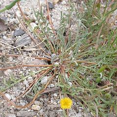 Plant form: Microseris douglasii. ~ By Keir Morse. ~ Copyright © 2021 Keir Morse. ~ www.keiriosity.com ~ www.keiriosity.com