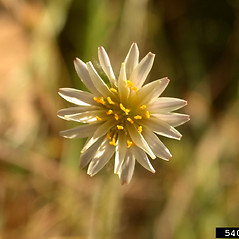 Flowers: Microseris douglasii. ~ By Mary Ellen Harte. ~ Copyright © 2020 CC BY-NC 3.0. ~  ~ Bugwood - www.bugwood.org/