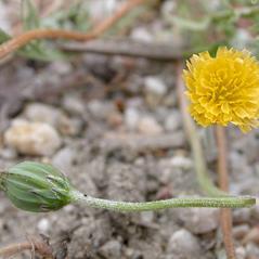 Stems: Microseris douglasii. ~ By Keir Morse. ~ Copyright © 2021 Keir Morse. ~ www.keiriosity.com ~ CalPhotos - calphotos.berkeley.edu/flora/