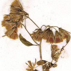 Fruits: Nabalus albus. ~ By CONN Herbarium. ~ Copyright © 2020 CONN Herbarium. ~ Requests for image use not currently accepted by copyright holder ~ U. of Connecticut Herbarium - bgbaseserver.eeb.uconn.edu/