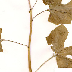 Stems: Nabalus albus. ~ By CONN Herbarium. ~ Copyright © 2021 CONN Herbarium. ~ Requests for image use not currently accepted by copyright holder ~ U. of Connecticut Herbarium - bgbaseserver.eeb.uconn.edu/