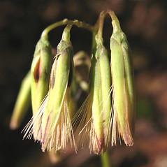 Flowers: Nabalus altissimus. ~ By Marilee Lovit. ~ Copyright © 2021 Marilee Lovit. ~ lovitm[at]gmail.com