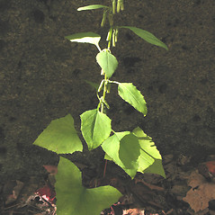 Plant form: Nabalus altissimus. ~ By Marilee Lovit. ~ Copyright © 2021 Marilee Lovit. ~ lovitm[at]gmail.com